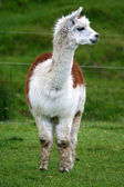 Alpaca — Stock Photo