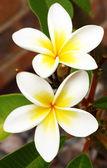 Frangipani (Plumeria) — Stock Photo