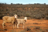 Aussie Sheep — Stock Photo