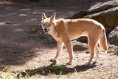 Dingo — Stock Photo