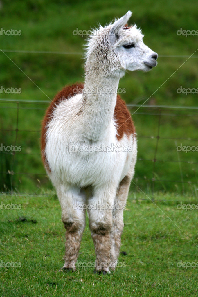 Front-on view of a tan and white alpaca standing in a lush green field. — Stock Photo #5525230