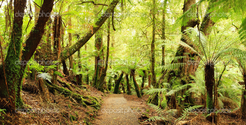 Panorama of path through a cool temperate rainforest, with treeferns and ancient myrtle beech trees.  Victoria, Australia.  XXL file. — Stock Photo #5526155