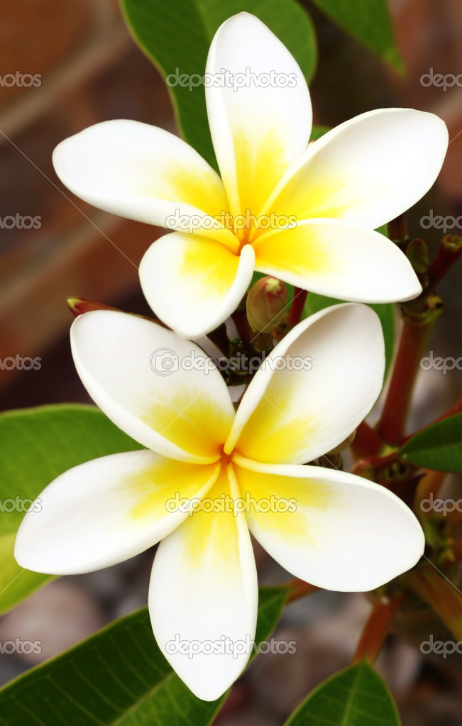 Plumeria or frangipani flowers, with brick background.  Glorious white and gold tropical flowers. — Stock Photo #5526316