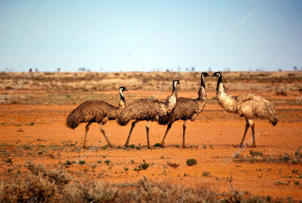 Emus in the wild, outback New South Wales, Australia.  Stock Photo #5529758
