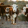 Cattle — Stock Photo #5531159