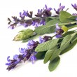 Sage over White - Stock Photo