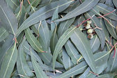 Eucalyptus Leaf Background — Stock Photo