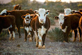 Cattle — Foto Stock