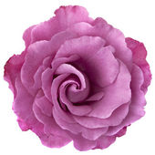 Lavender Rose — Stock Photo