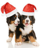 Puppy christmas — Stock Photo