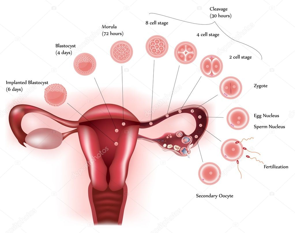 Cell development. Female reproductive system showing ovulation, fertilization, cell further development and finally implantation. — Stock Photo #5486044
