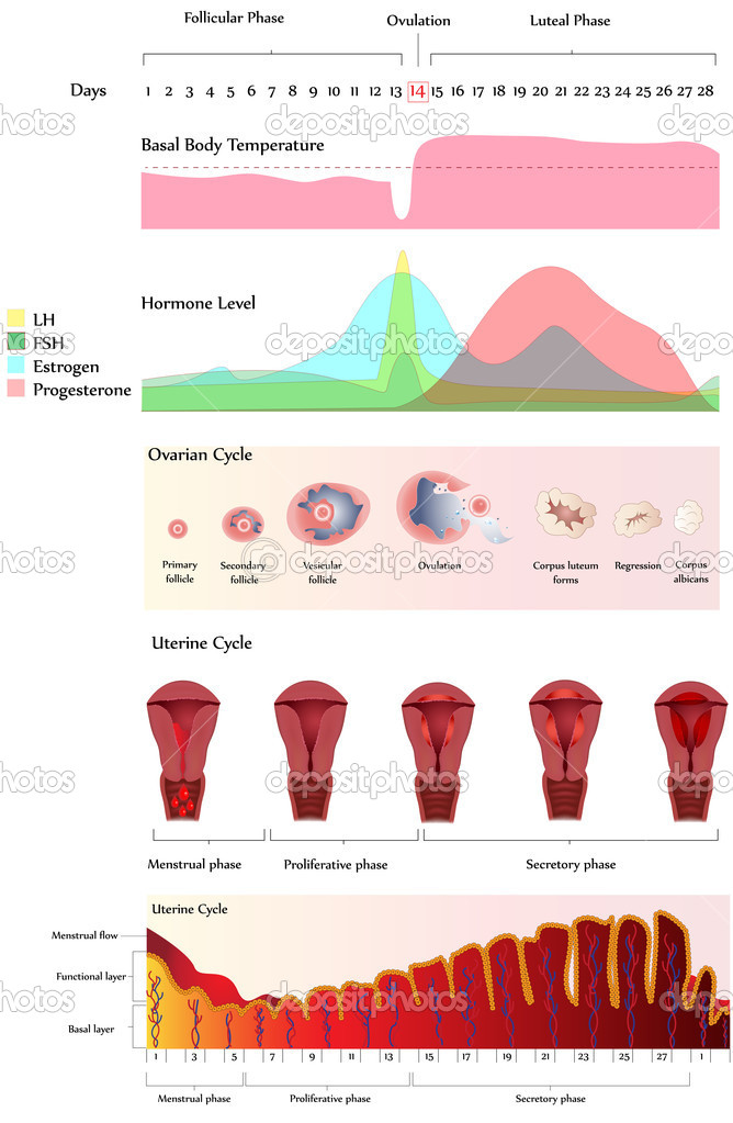 Illustration showing Uterine and Ovarian Cycle, Hormone level and Basal body temperature.   Stock Vector #5528548