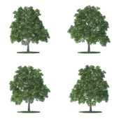 Sassafras trees collection isolated on white — Stock Photo