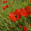 Red poppies — Stock Photo #5644067