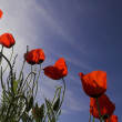 Red poppies — Stock Photo #5644069
