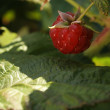 Raspberry Berry — Stock Photo