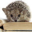 Hedgehog on book — Stock Photo