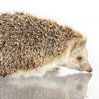 Hedgehog — Stock Photo #5645305