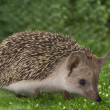 Hedgehog on nature — Stock Photo
