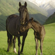 Colt and mare — Stock Photo