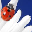Red ladybird on flower petal — Stock Photo