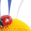 Red ladybird on flower petal — Stock Photo #5645438