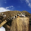 Lazy leopard lying in a tree - Stock Photo