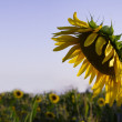 Beautiful sunflower closeup - Stock Photo