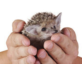 Hedgehog and — Stock Photo