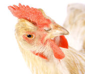 Pollo — Foto de Stock