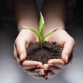 зеленый росток в руке женщина — Стоковое фото