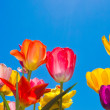 Bunte Tulpen — Stock Photo