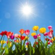 Tulips in the sun - Stock Photo