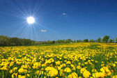 Sonnige Blumenwiese — Stock Photo
