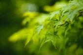 Klon japoński drzewo liście — Zdjęcie stockowe