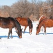 Group of horses nibbling on grass sticking through snow — Stock Photo