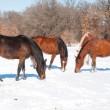 gruppo di cavalli roditura su erba attaccare attraverso la neve — Foto Stock