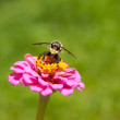 Stock Photo: Bee hunter perched on Zinnia