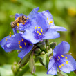 Tiny bee collecting nectar in purple Spiderwort flowers - ストック写真