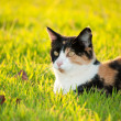 Beautiful calico cat in grass in bright sunshine - ストック写真