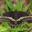 Eastern Black Swallowtail resting on grass - ストック写真