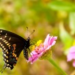 Eastern Black Swallowtail butterfly feeding on a tiny pink Zinnia — Foto Stock