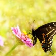 Dreamy image of a Eastern Black Swallowtail butterfly - ストック写真