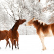 Stock Photo: Two horses playing in snow