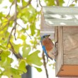 Stock Photo: Eastern Bluebird, Sialia sialis, at the nextbox