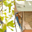 Male Eastern Bluebird at nest box — Stock Photo