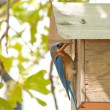 Male Eastern Bluebird at nest box — Stock Photo #5539865