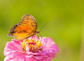Beautiful Agraulis vanillae, Gulf Fritillary butterfly — Stock Photo