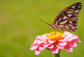 Colorful orange and silver Gulf Fritillary butterfly — Stock Photo