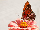 Orange and silver Agraulis vanillae butterfly — Stock Photo